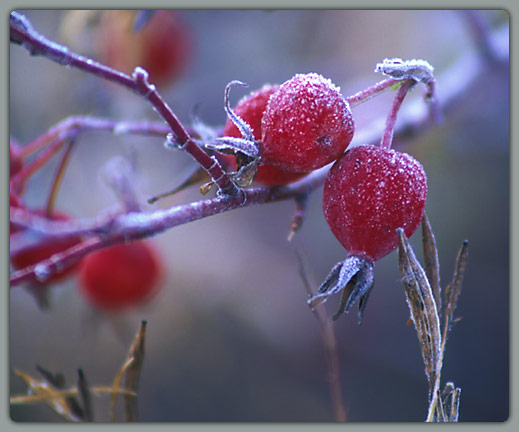 Frosted Berry 1